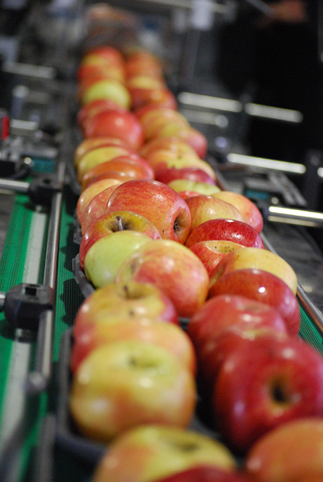 Apples lined up and waiting to get packed