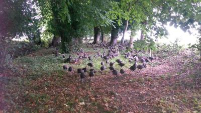 Our Woodland Turkeys