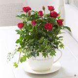 Red Rose Teacup Planter