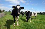 Slane Farm Dairy Cows